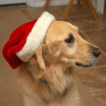 Dog-in-santa-hat